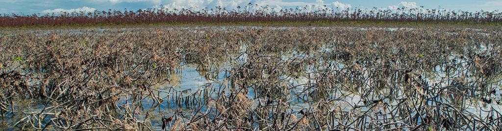 devastated mangroves